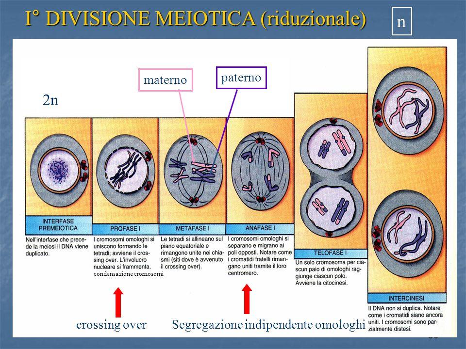 I° DIVISIONE MEIOTICA (riduzionale)