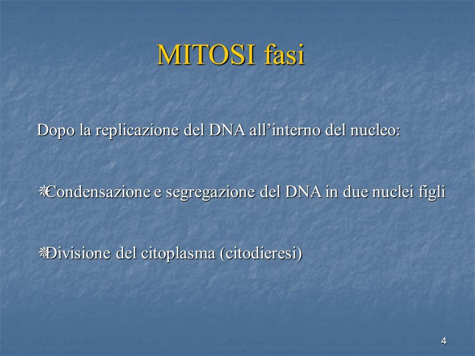 MITOSI fasi Dopo la replicazione del DNA all'interno del nucleo: