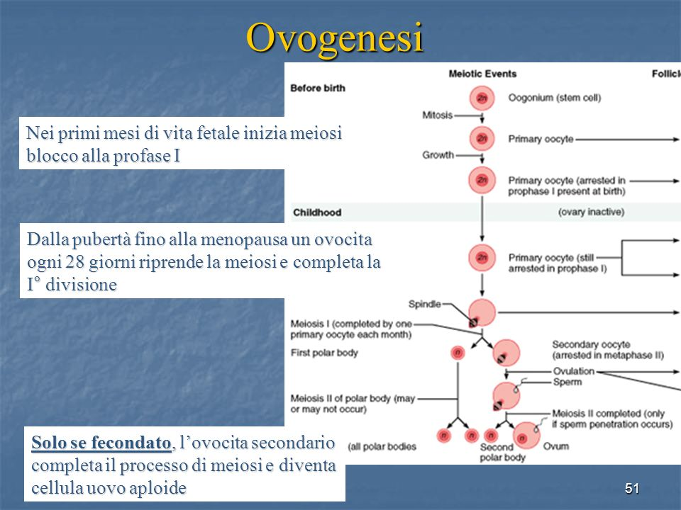 Ovogenesi Nei primi mesi di vita fetale inizia meiosi