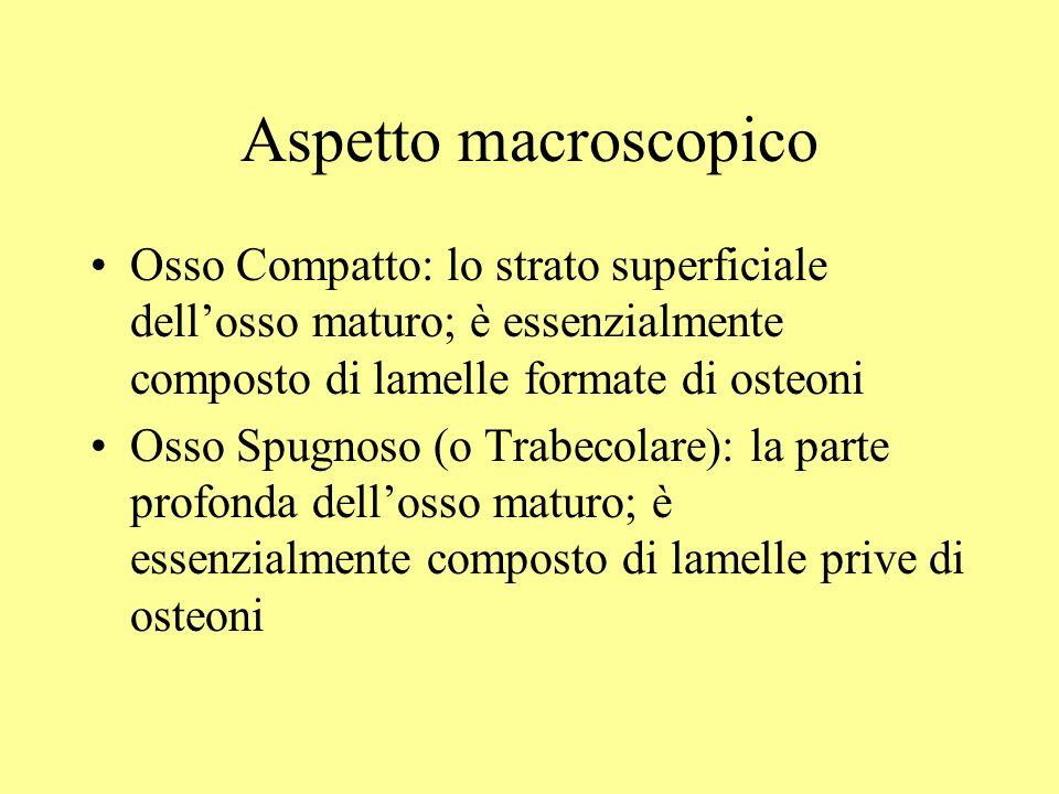 Aspetto macroscopico Osso Compatto: lo strato superficiale dell'osso maturo; è essenzialmente composto di lamelle formate di osteoni.