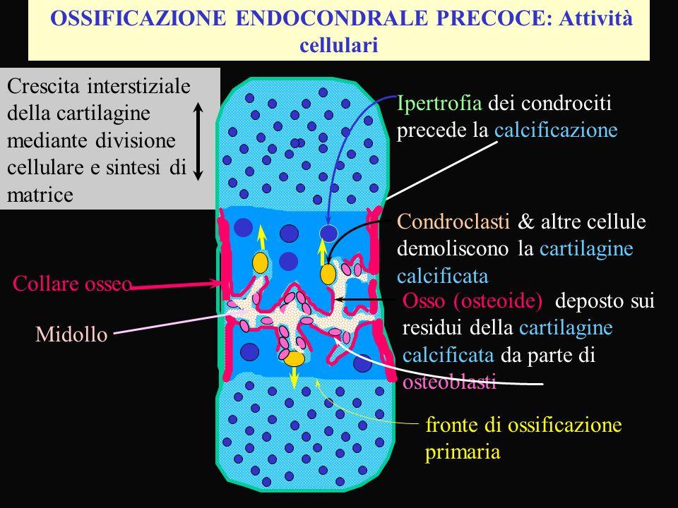 OSSIFICAZIONE ENDOCONDRALE PRECOCE: Attività cellulari