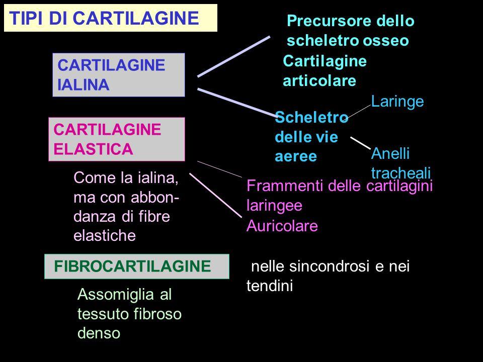 TIPI DI CARTILAGINE Precursore dello scheletro osseo
