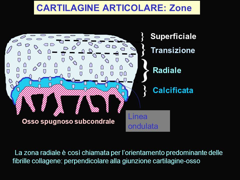 } } } } CARTILAGINE ARTICOLARE: Zone Superficiale Transizione Radiale