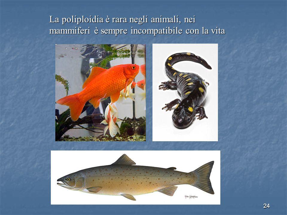 La poliploidia è rara negli animali, nei mammiferi è sempre incompatibile con la vita