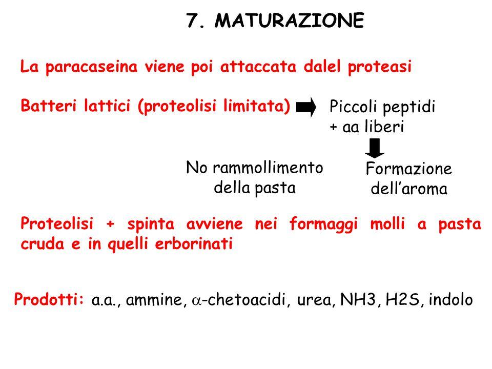 7. MATURAZIONE La paracaseina viene poi attaccata dalel proteasi