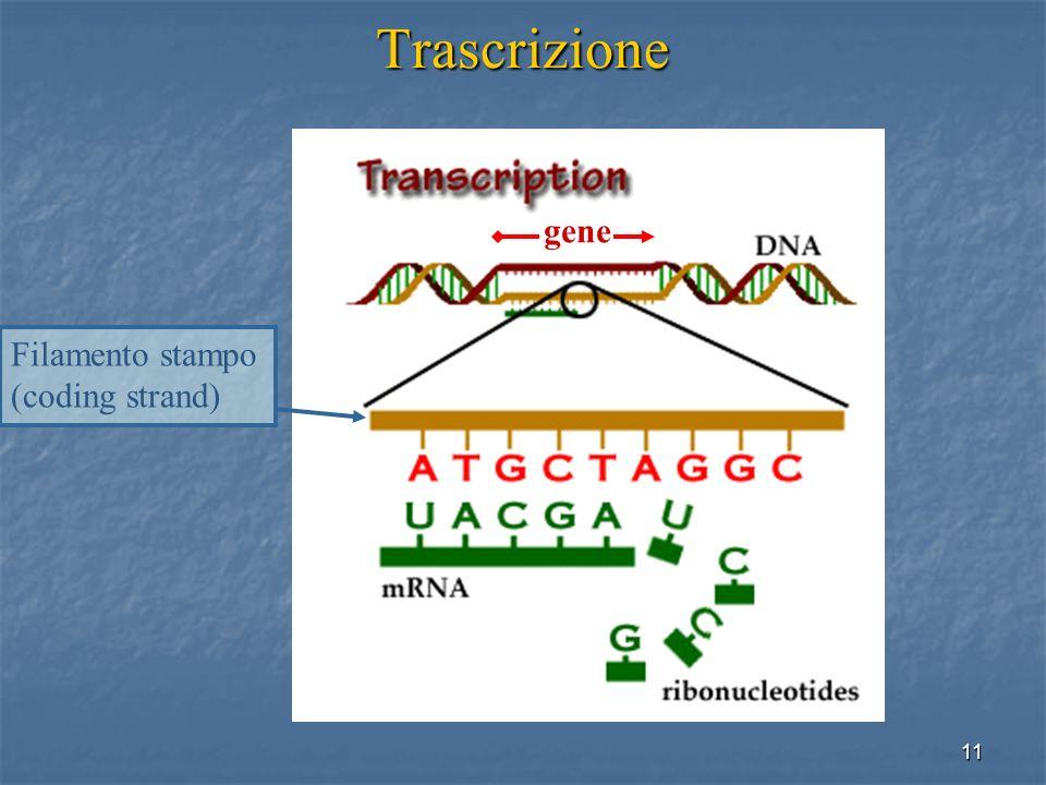 Trascrizione gene Filamento stampo (coding strand)