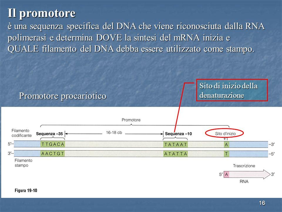 Il promotore è una sequenza specifica del DNA che viene riconosciuta dalla RNA. polimerasi e determina DOVE la sintesi del mRNA inizia e.