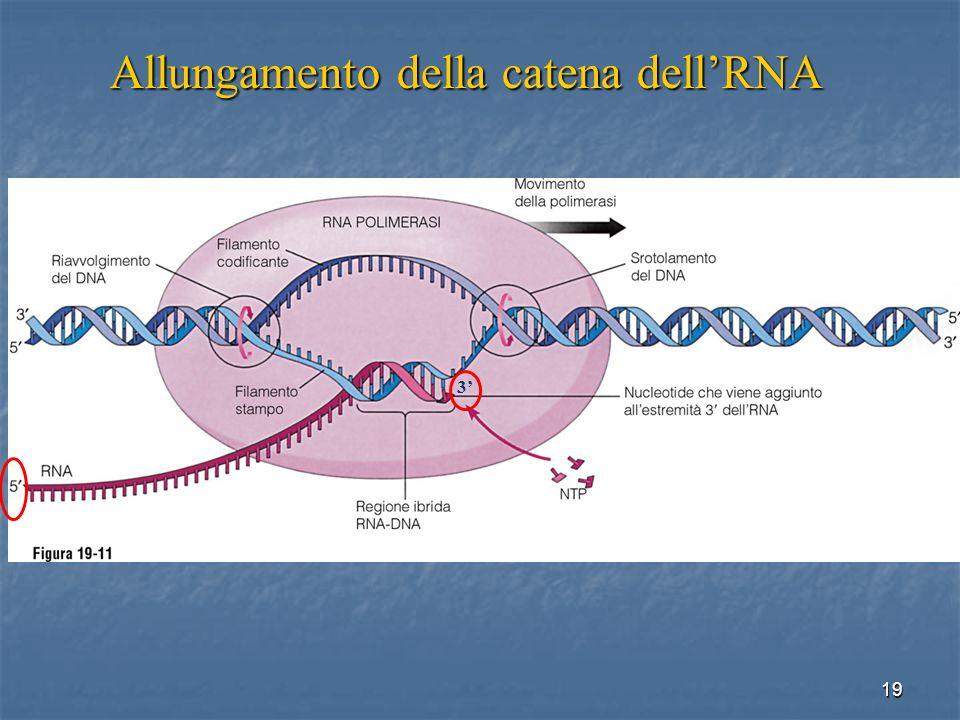 Allungamento della catena dell'RNA