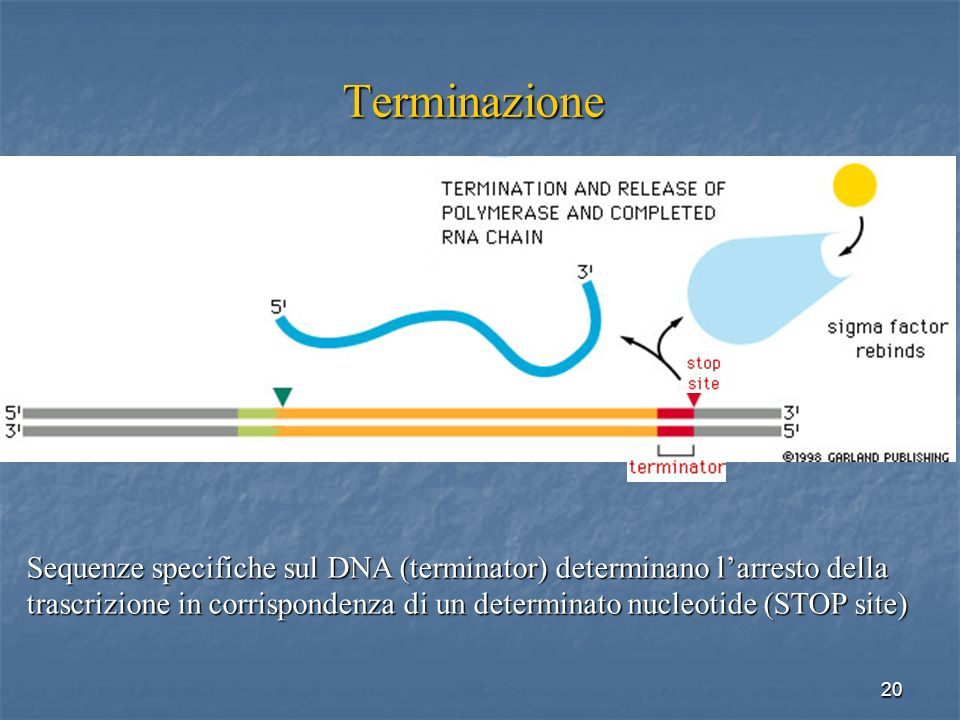Terminazione Sequenze specifiche sul DNA (terminator) determinano l'arresto della.