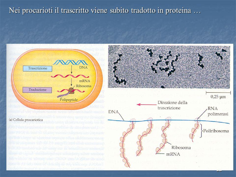 Nei procarioti il trascritto viene subito tradotto in proteina …
