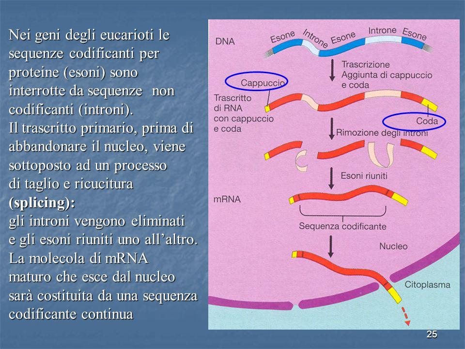 Nei geni degli eucarioti le