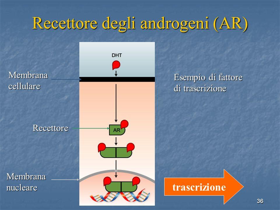 Recettore degli androgeni (AR)