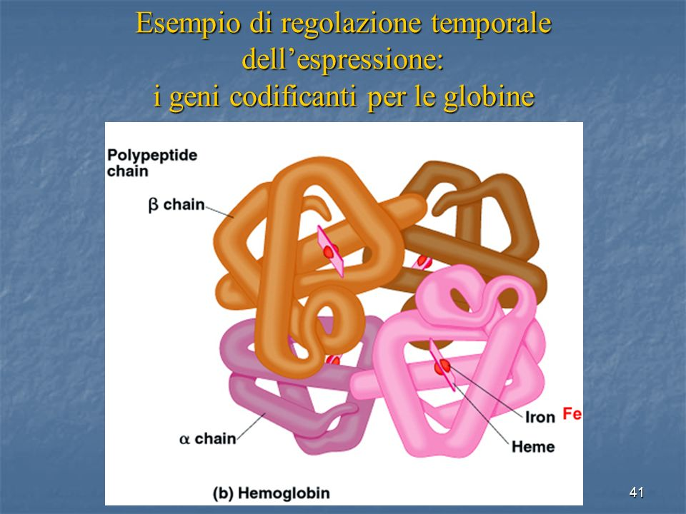 Esempio di regolazione temporale dell'espressione: i geni codificanti per le globine