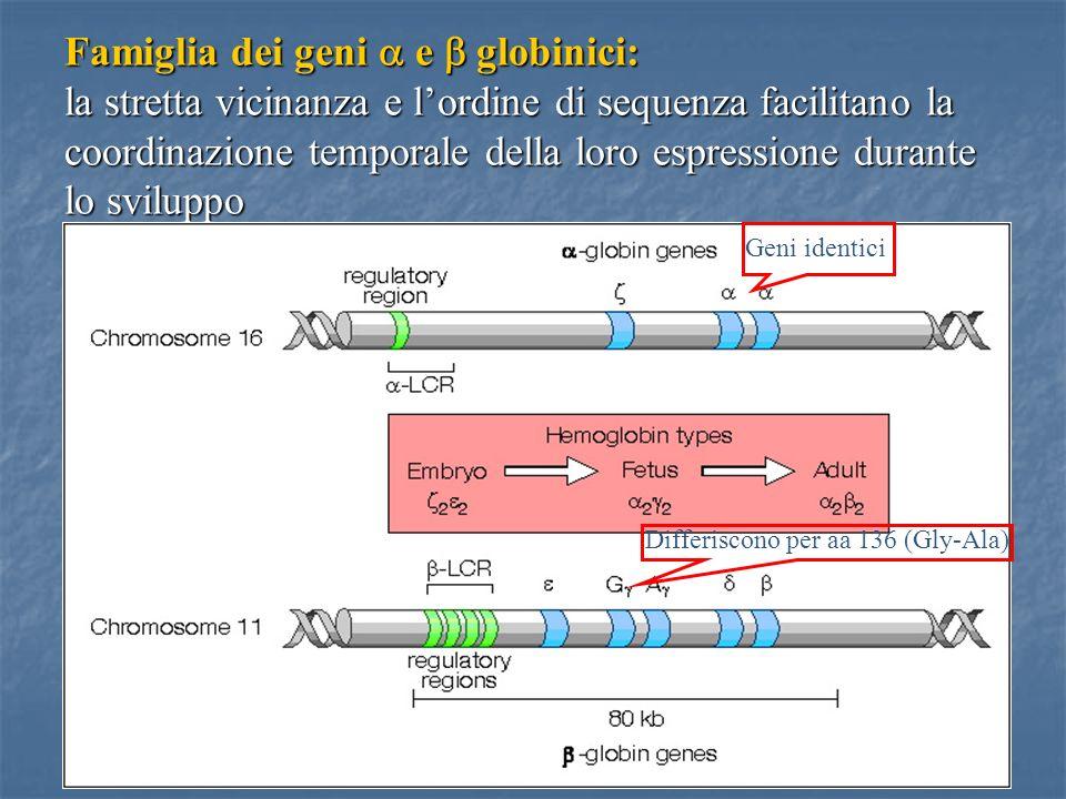 Famiglia dei geni a e b globinici: la stretta vicinanza e l'ordine di sequenza facilitano la coordinazione temporale della loro espressione durante lo sviluppo