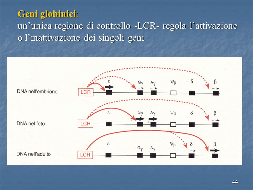 Geni globinici: un'unica regione di controllo -LCR- regola l'attivazione o l'inattivazione dei singoli geni