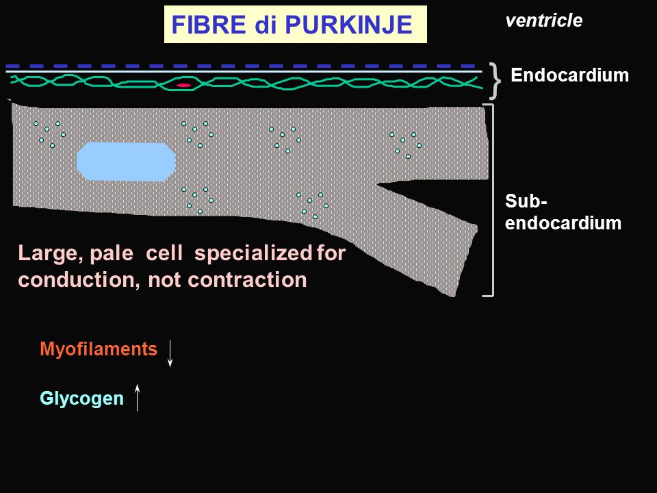 FIBRE di PURKINJE ventricle. } Endocardium. Sub-endocardium. Large, pale cell specialized for conduction, not contraction.