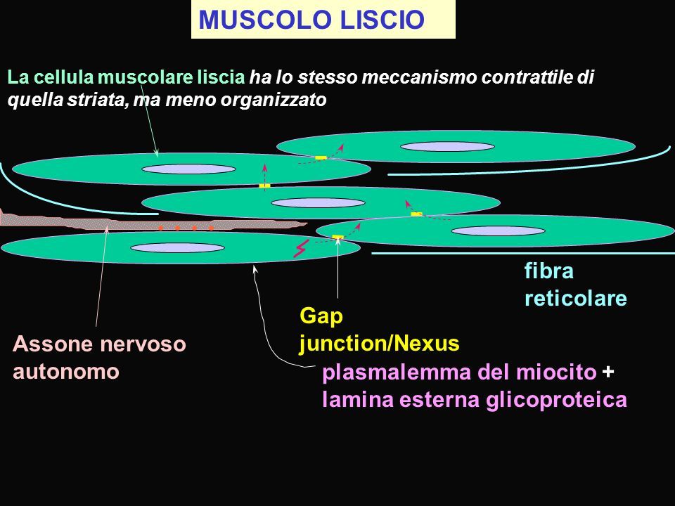 MUSCOLO LISCIO fibra reticolare Gap junction/Nexus