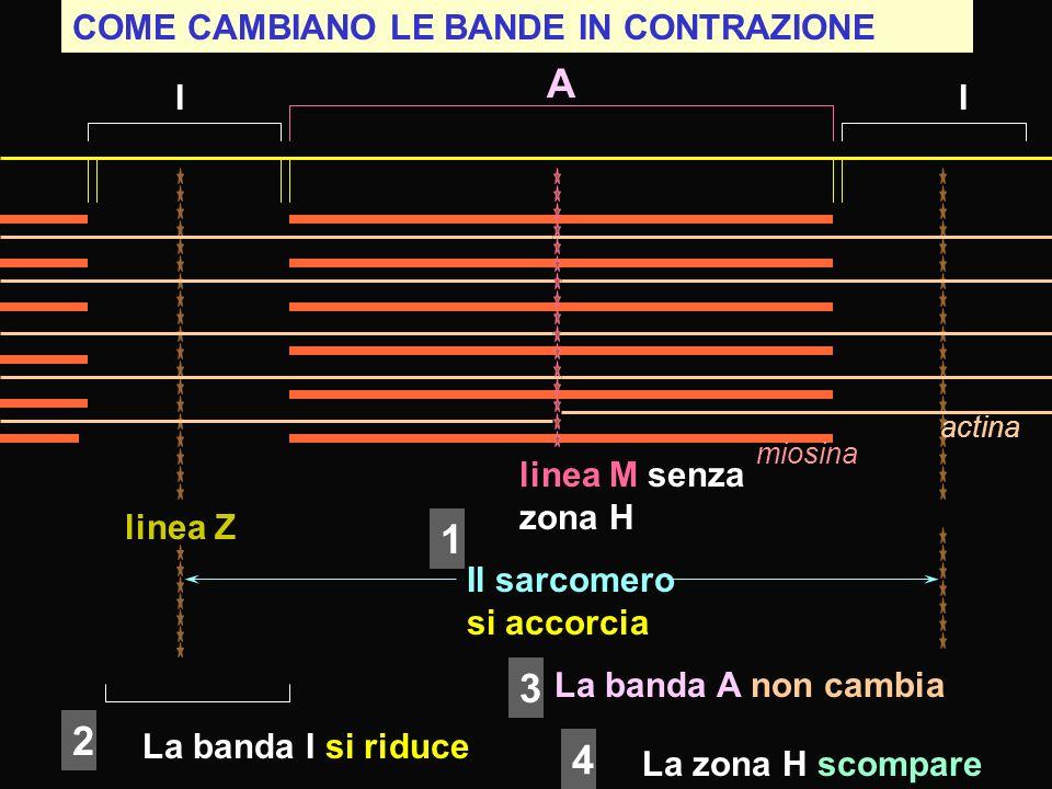 A 1 3 2 4 COME CAMBIANO LE BANDE IN CONTRAZIONE I I