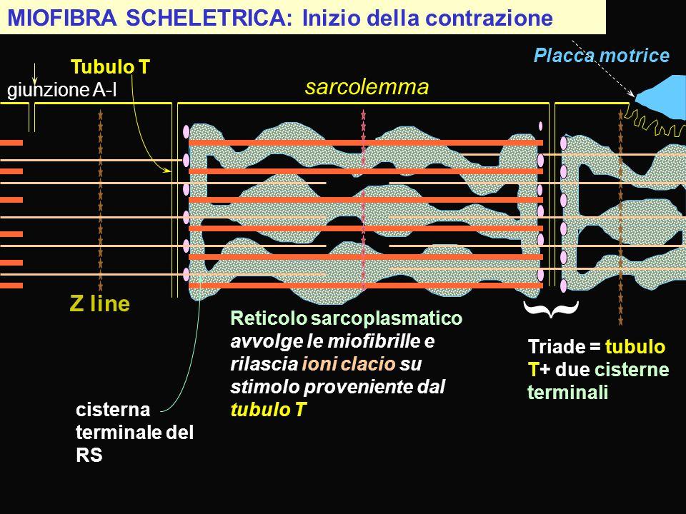 } MIOFIBRA SCHELETRICA: Inizio della contrazione sarcolemma Z line