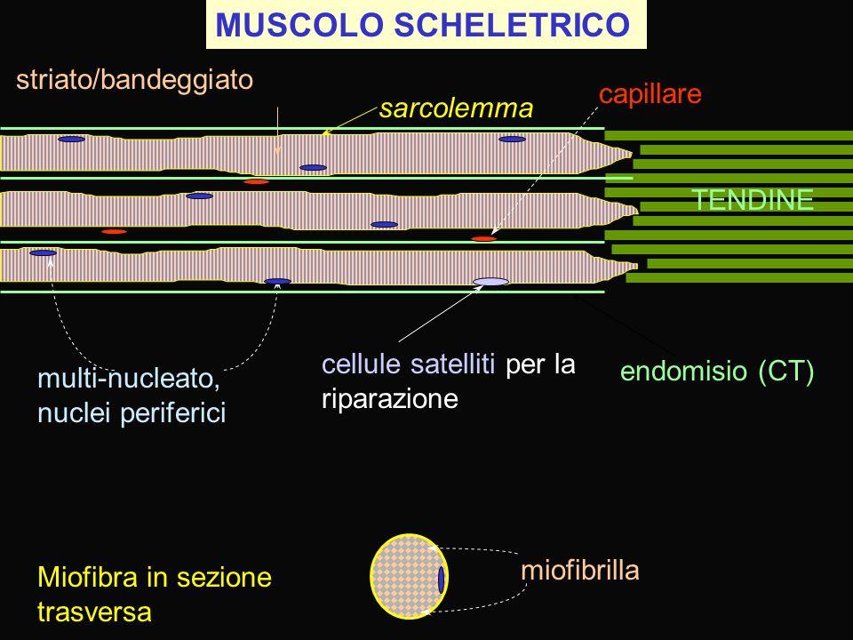 MUSCOLO SCHELETRICO striato/bandeggiato capillare sarcolemma TENDINE