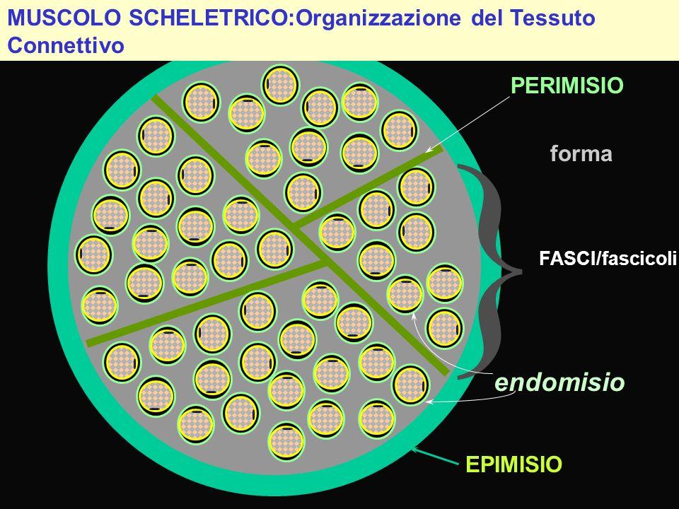 } endomisio MUSCOLO SCHELETRICO:Organizzazione del Tessuto Connettivo