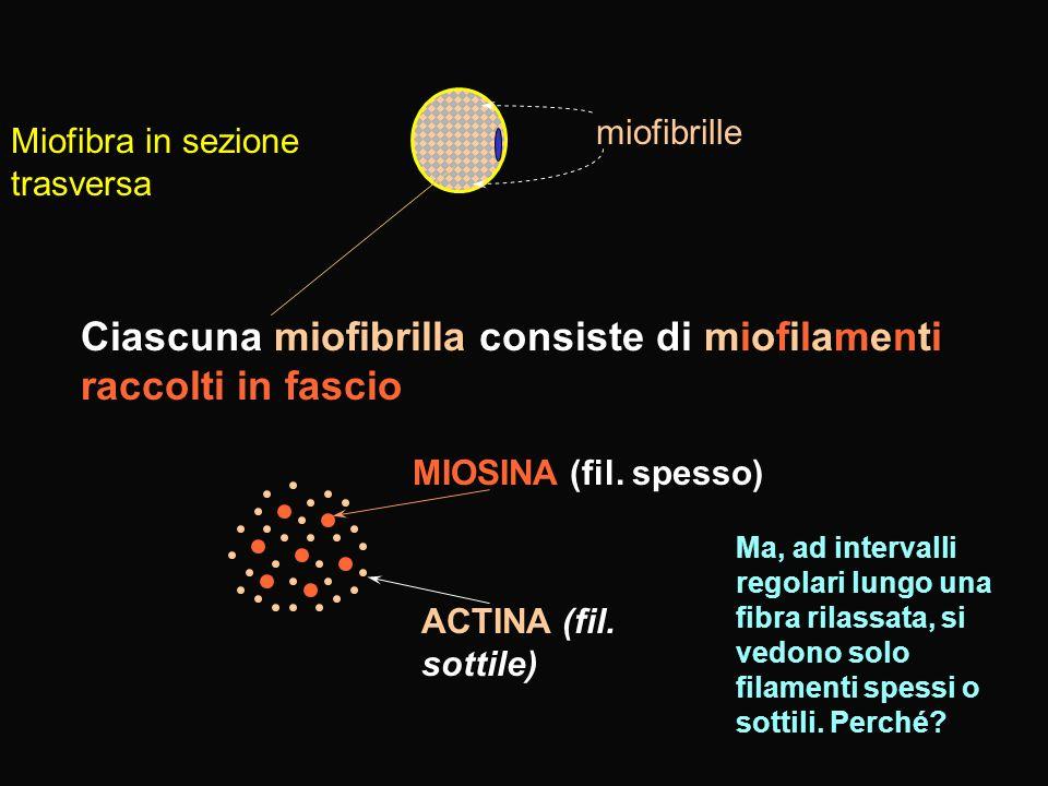 Ciascuna miofibrilla consiste di miofilamenti raccolti in fascio