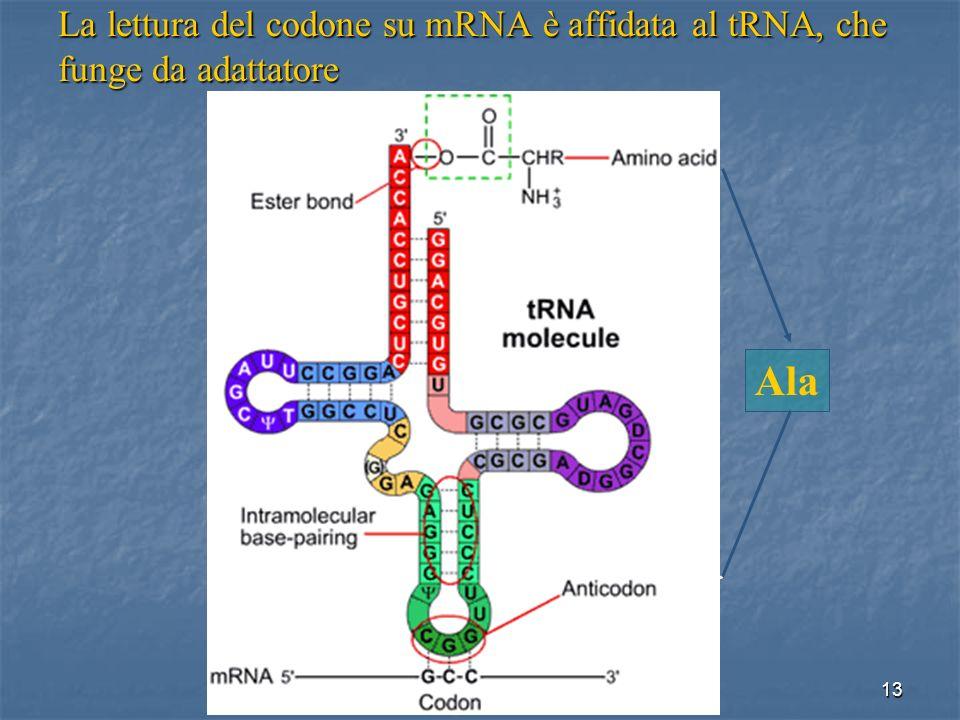 La lettura del codone su mRNA è affidata al tRNA, che funge da adattatore