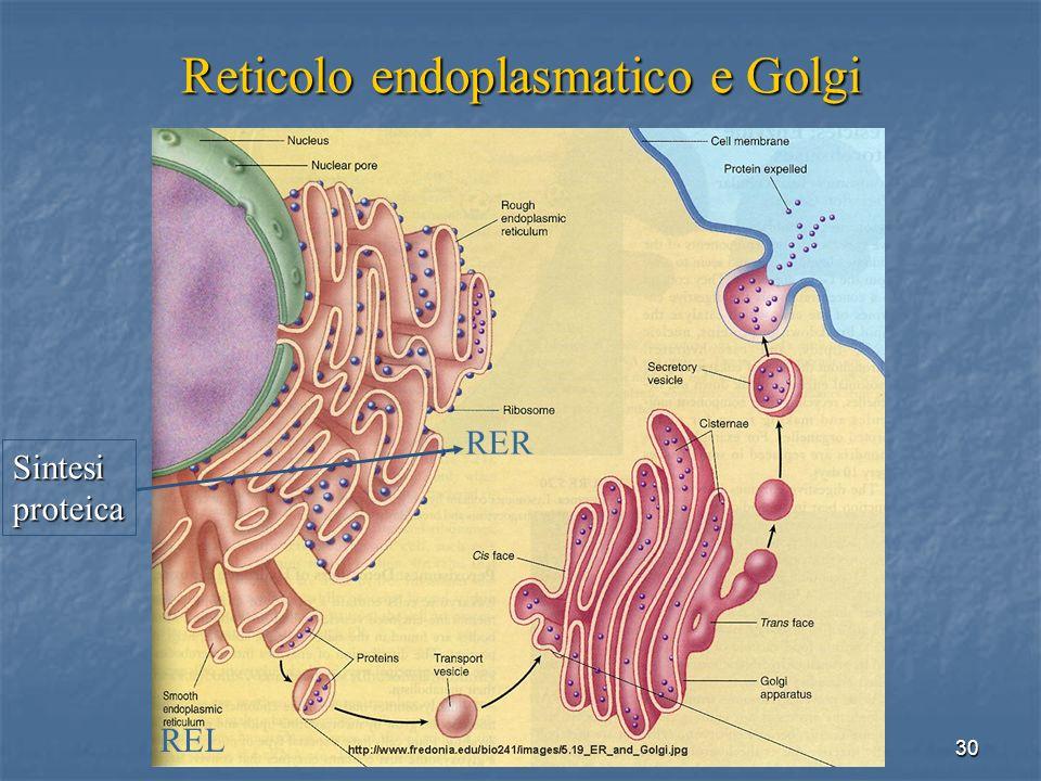Reticolo endoplasmatico e Golgi