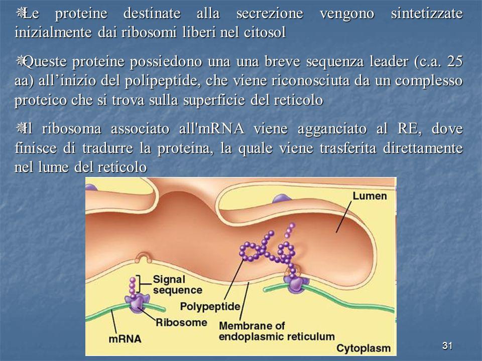 Le proteine destinate alla secrezione vengono sintetizzate inizialmente dai ribosomi liberi nel citosol