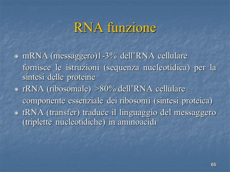 RNA funzione mRNA (messaggero)1-3% dell'RNA cellulare