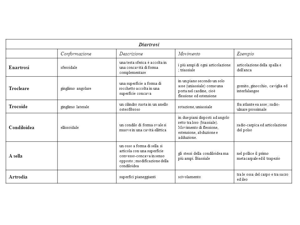 Diartrosi Conformazione Descrizione Movimento Esempio Enartrosi