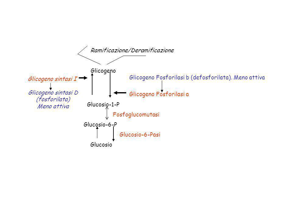 Glucosio-1-P Glucosio-6-P. Glicogeno. Glicogeno Fosforilasi a. Glicogeno Fosforilasi b (defosforilata). Meno attiva.