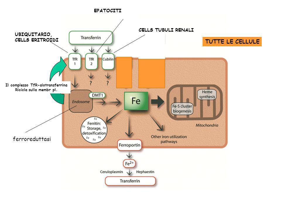 Il complesso TfR-alotransferrina