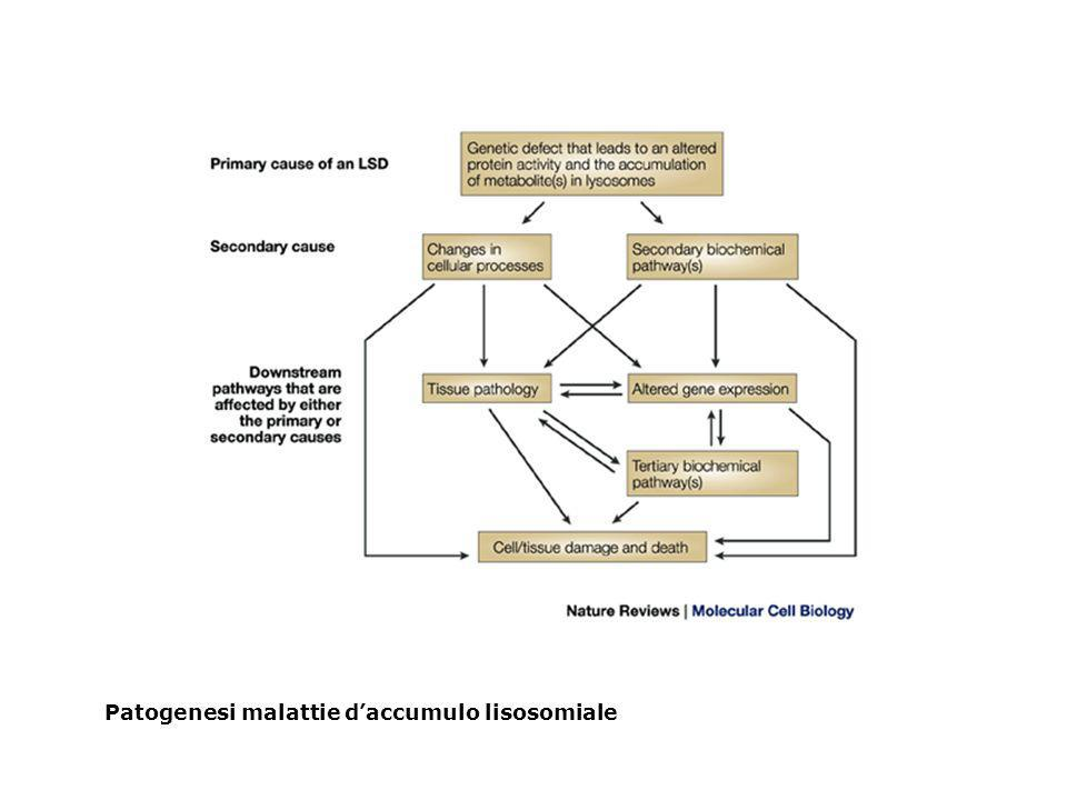 Patogenesi malattie d'accumulo lisosomiale