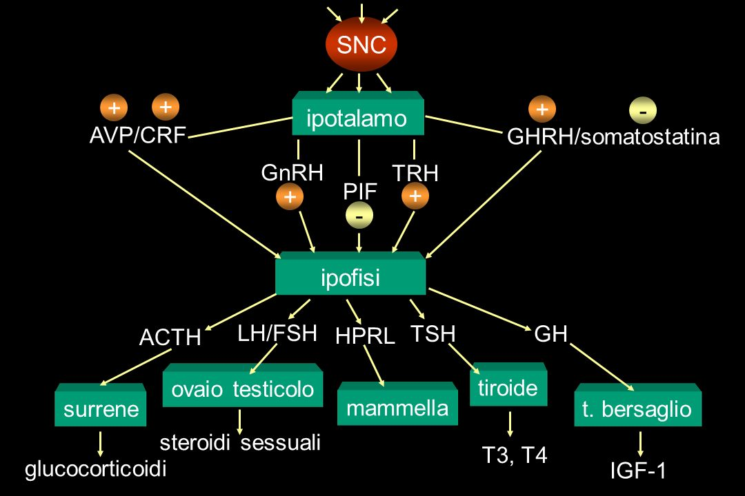 SNC + + - ipotalamo + + - ipofisi AVP/CRF ACTH surrene glucocorticoidi