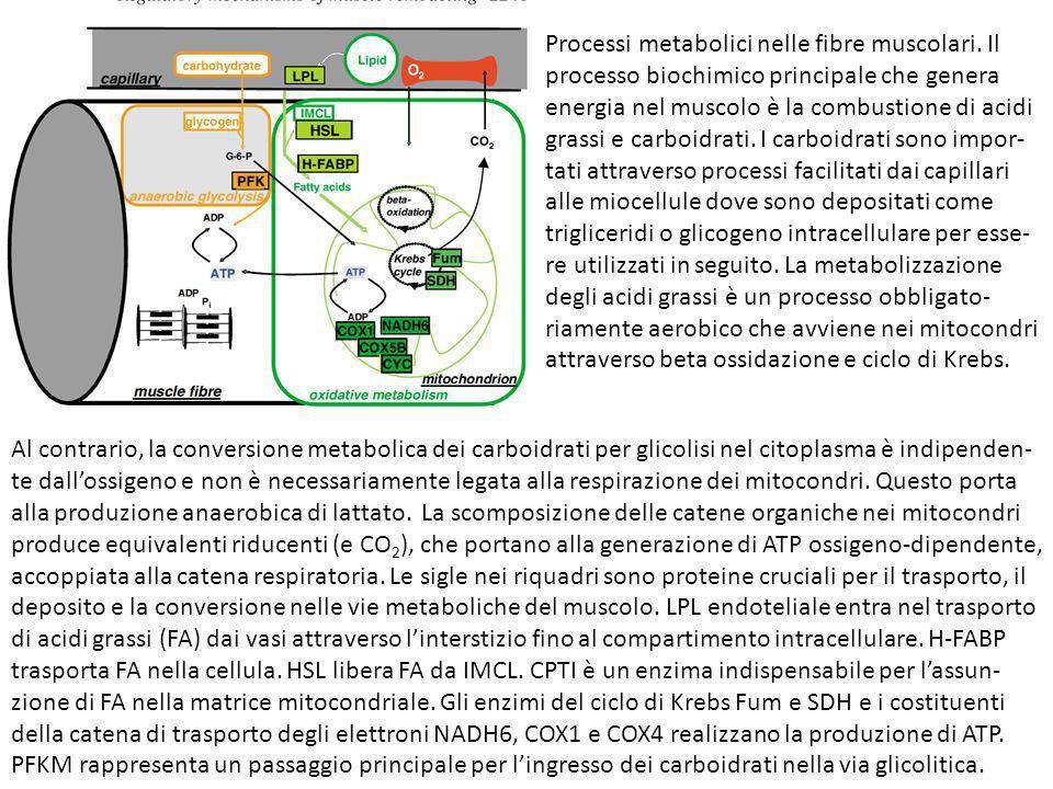 Processi metabolici nelle fibre muscolari