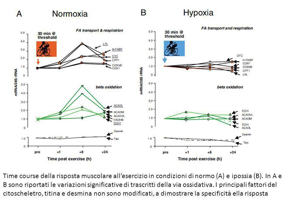 Time course della risposta muscolare all'esercizio in condizioni di normo (A) e ipossia (B).