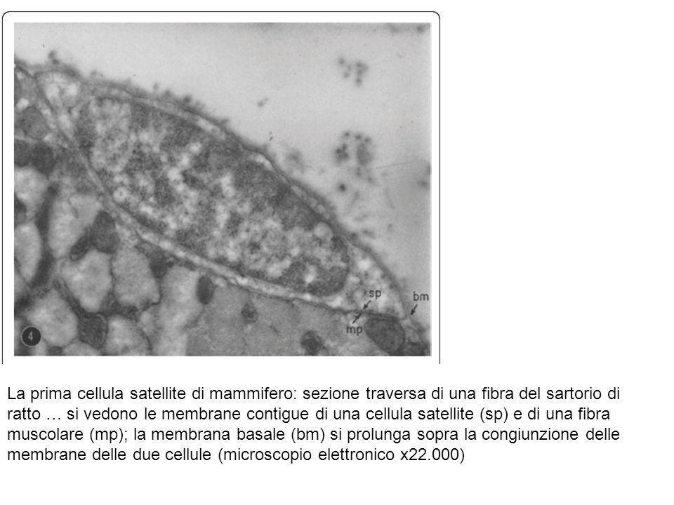 La prima cellula satellite di mammifero: sezione traversa di una fibra del sartorio di ratto … si vedono le membrane contigue di una cellula satellite (sp) e di una fibra muscolare (mp); la membrana basale (bm) si prolunga sopra la congiunzione delle membrane delle due cellule (microscopio elettronico x22.000)