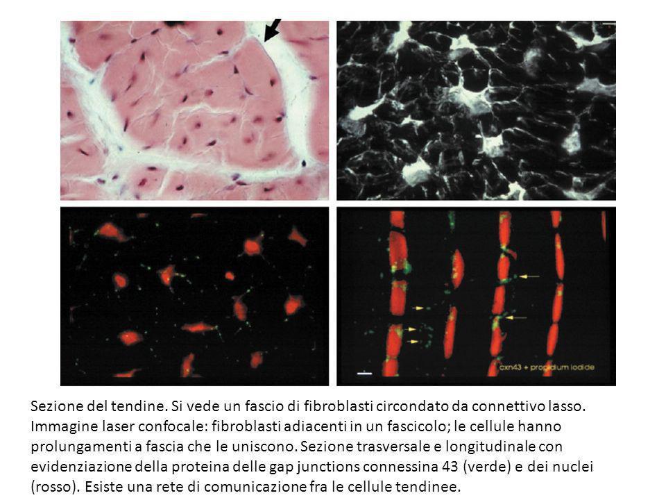 Sezione del tendine. Si vede un fascio di fibroblasti circondato da connettivo lasso.