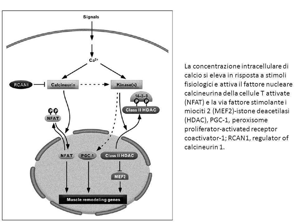 La concentrazione intracellulare di calcio si eleva in risposta a stimoli fisiologici e attiva il fattore nucleare calcineurina della cellule T attivate (NFAT) e la via fattore stimolante i miociti 2 (MEF2)-istone deacetilasi (HDAC), PGC-1, peroxisome proliferator-activated receptor coactivator-1; RCAN1, regulator of calcineurin 1.