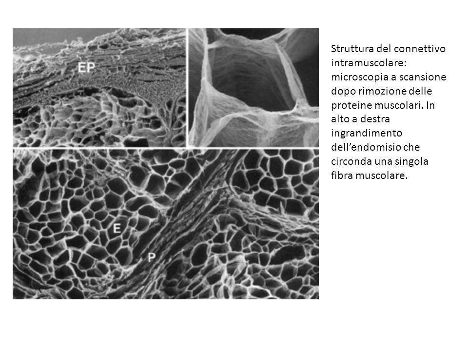 Struttura del connettivo intramuscolare: microscopia a scansione dopo rimozione delle proteine muscolari.