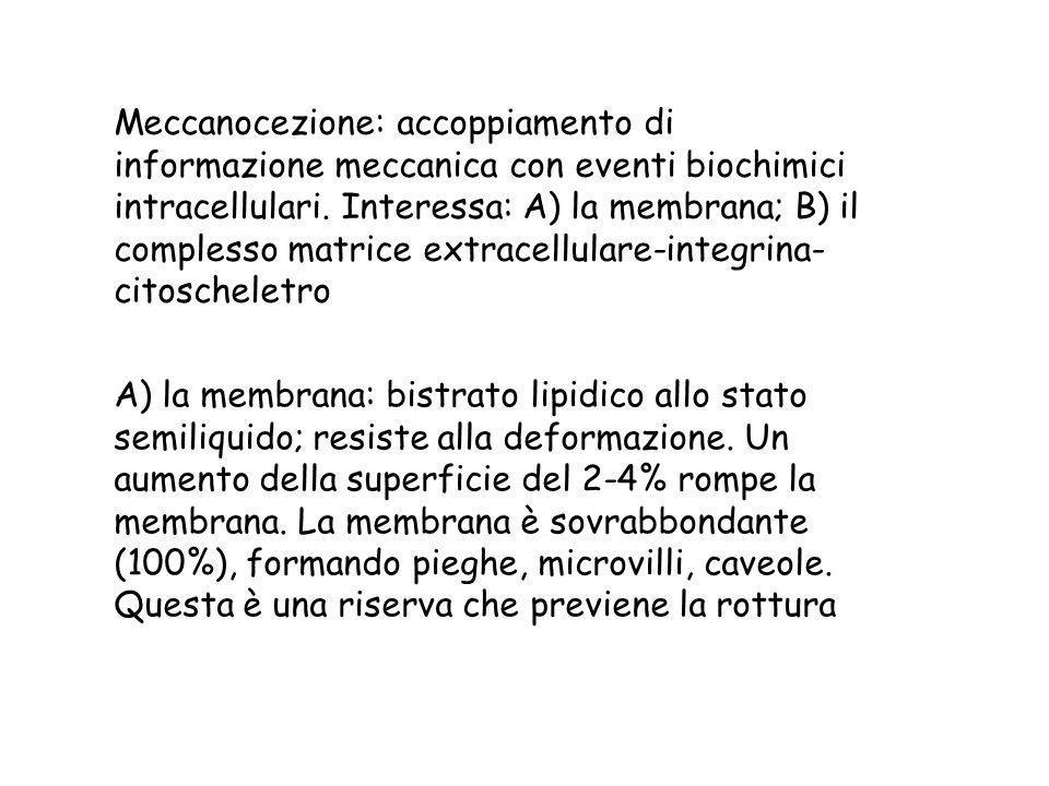 Meccanocezione: accoppiamento di informazione meccanica con eventi biochimici intracellulari. Interessa: A) la membrana; B) il complesso matrice extracellulare-integrina-citoscheletro