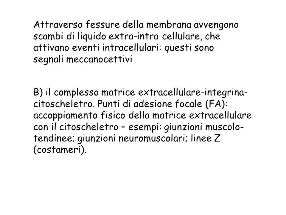 Attraverso fessure della membrana avvengono scambi di liquido extra-intra cellulare, che attivano eventi intracellulari: questi sono segnali meccanocettivi