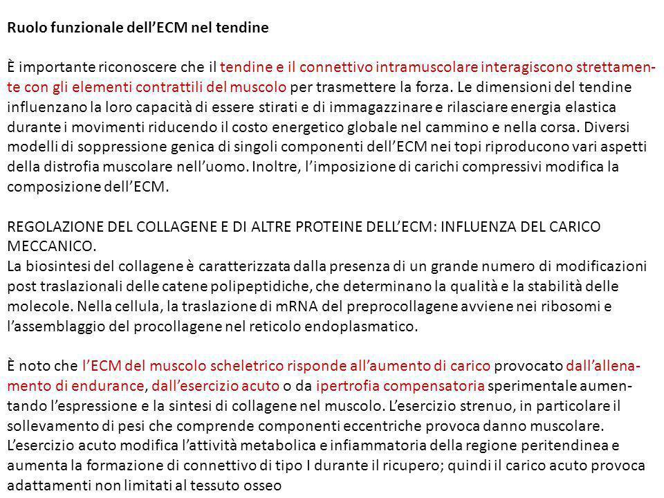 Ruolo funzionale dell'ECM nel tendine