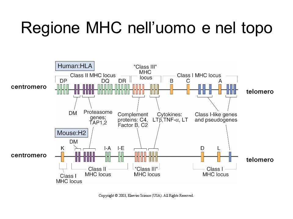 Regione MHC nell'uomo e nel topo