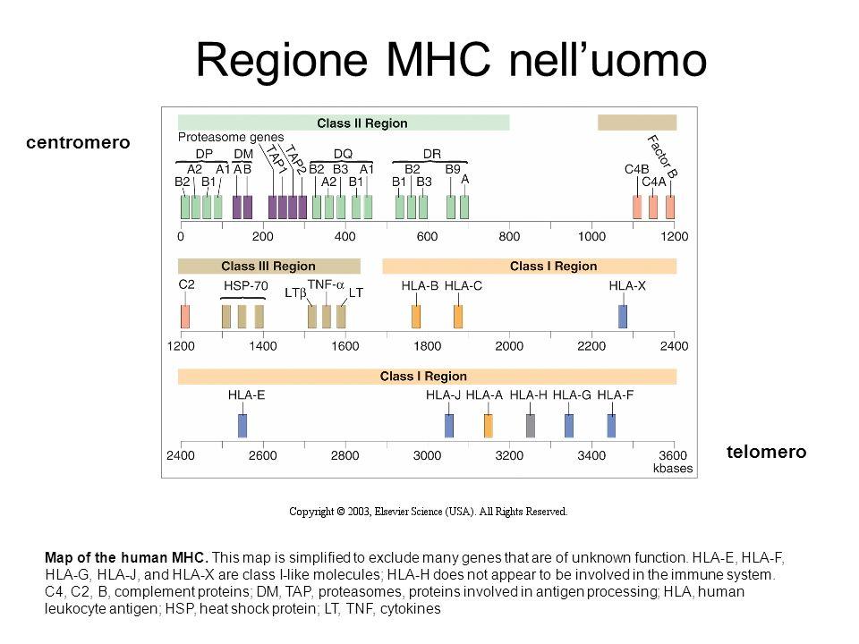 Regione MHC nell'uomo centromero telomero