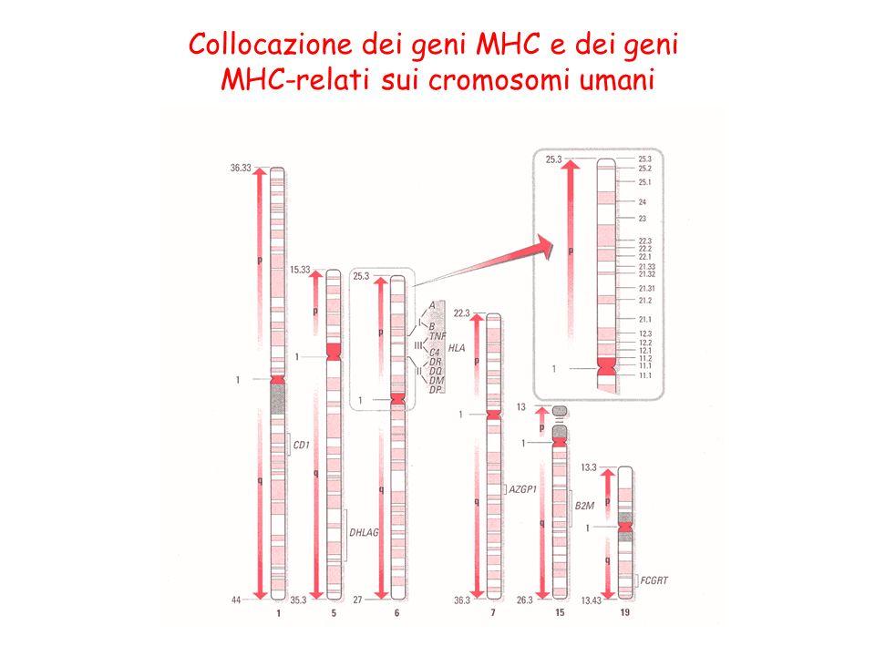 Collocazione dei geni MHC e dei geni MHC-relati sui cromosomi umani