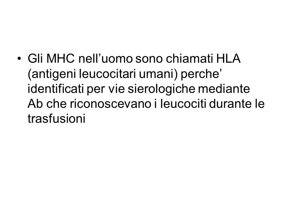 Gli MHC nell'uomo sono chiamati HLA (antigeni leucocitari umani) perche' identificati per vie sierologiche mediante Ab che riconoscevano i leucociti durante le trasfusioni