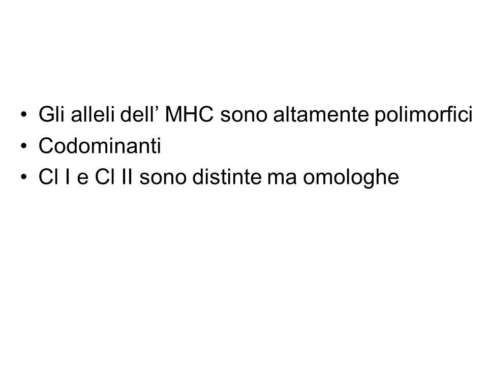 Gli alleli dell' MHC sono altamente polimorfici