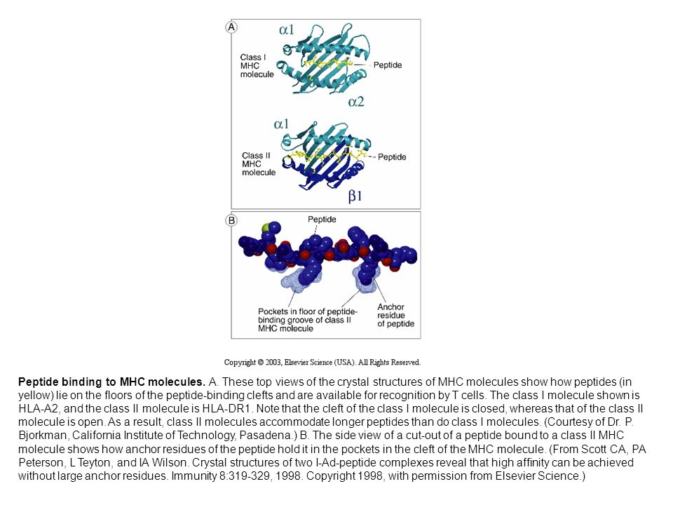 Peptide binding to MHC molecules. A